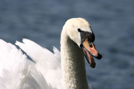 Detail studie of a Mute Swan
