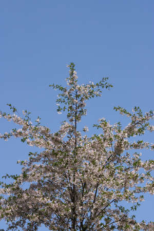 A blossoming cherry tree with a blue sky