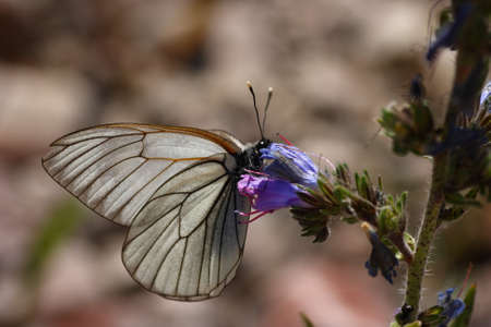 A Black-veined White Butterfly enjoying a blue flower
