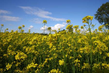 oilseed: A rape field with a nice blue sky