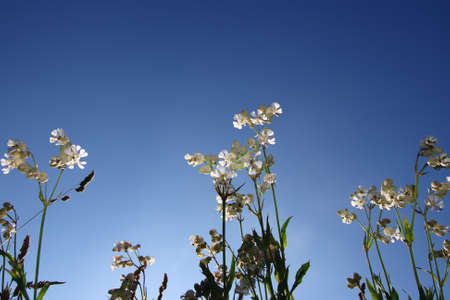 White wild flowers with a clear blue summer sky Stock Photo