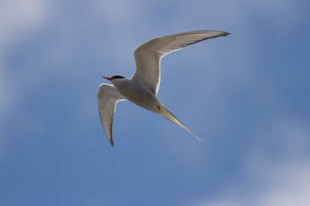 A common tern - Sterna hirundo with a blue sky Stock Photo