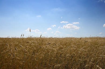 A grainfield with a nice summer sky Stock Photo