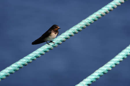 A barn swallow sitting on a rope