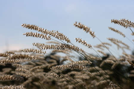 Blooming grass straws in nice backlight Stock Photo - 3952561