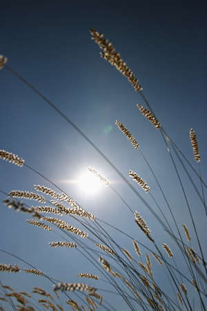 Blooming grass straws in nice backlight Stock Photo