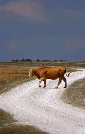 A cow crossing a sunny country road with dark clouds in the background