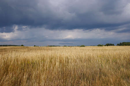 A sunny grainfield under a dramatic sky
