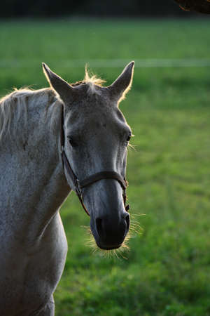 A horse in nice backlight during summer time Stock Photo