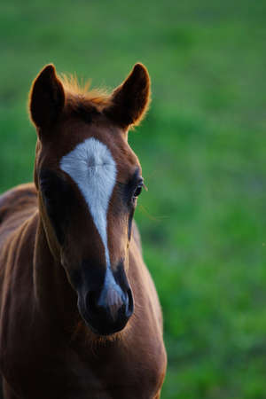 A foal in nice backlight during summer time Stock Photo