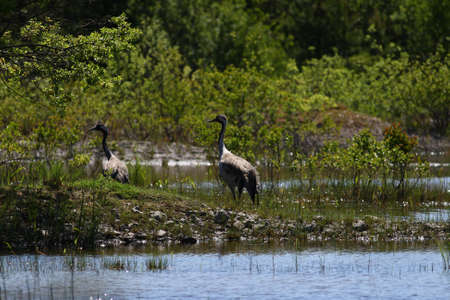 Two common crane birds in a small lake Stock Photo