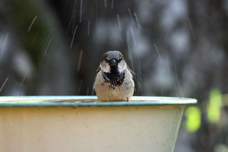 A house sparrow taking a shower Stock Photo