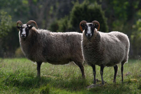 Two sheeps in the beautiful Swedish summer Stock Photo