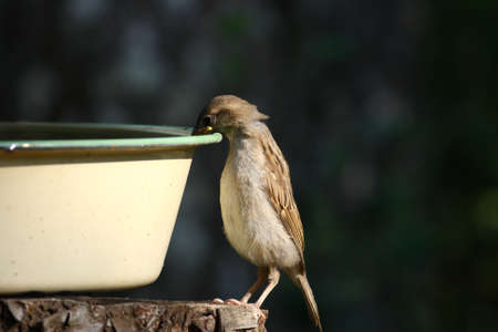 A House sparrow - Passer domesticus meeting water for the first time