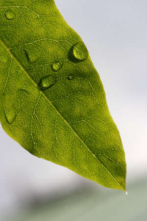 A green leaf after the summer rain