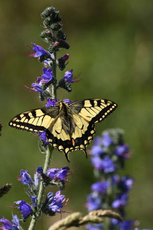 A Machaon butterfly sitting on a blue flower Stock Photo