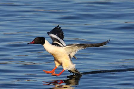 Goosander male in  Stock Photo