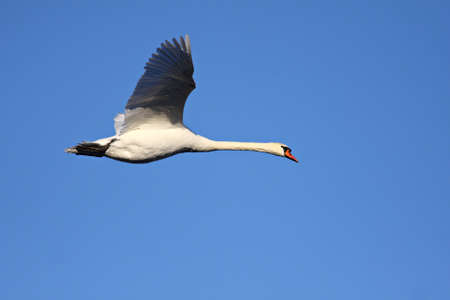 A white swan flying  on a sunny day with a blue sky in the background.