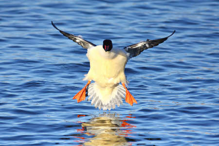 A Male goosander - mergus merganser is in for landing in the water Stock Photo
