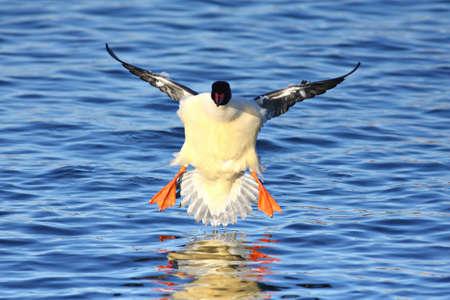 A Male goosander - mergus merganser is in for landing in the water Stock Photo