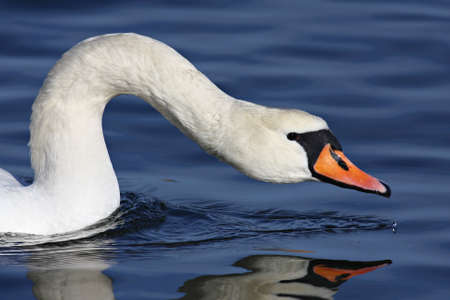 A closeup on a white swan in the water, at it´s best Stock Photo