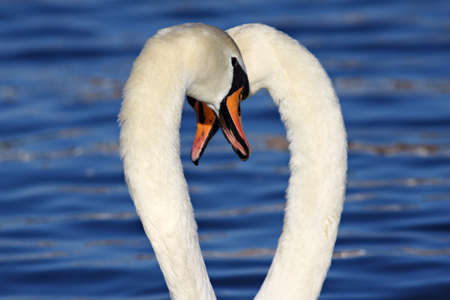 Two white swans in the water, feeling just fine! Stock Photo