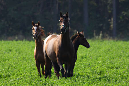Three curious horses in a cloverfield