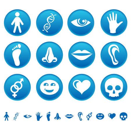 partes del cuerpo humano: Iconos Humanos Vectores