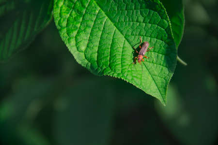 on green leaf insect beetle firefly on green background copy space