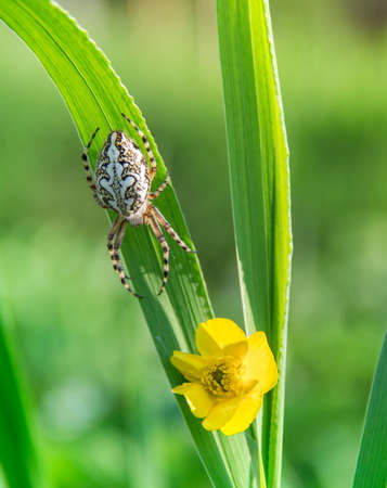 a blade of grass with a yellow wild flower and a spider crawling along it with a beautiful pattern on the back
