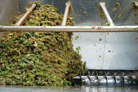 winepress: pile of mellow white grape in wine-press at winery
