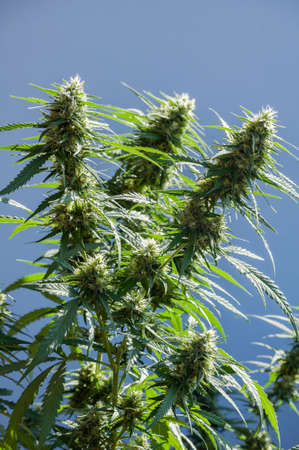 bourgeon: branch of cannabis plant with buds on grey-blue background