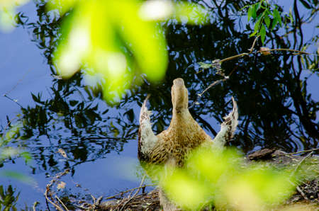 Wild goose on the bank of the city pond Stock Photo