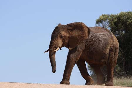 ドリンクの道路を横切っている象