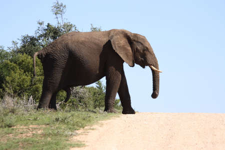 A male elephant wanting to cross the road