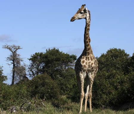 A tall inquisitive giraffe watching us Stock Photo