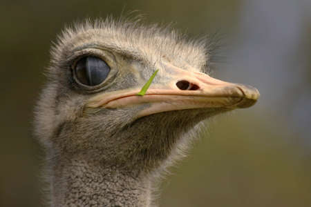 ostrich head with grass sticking out