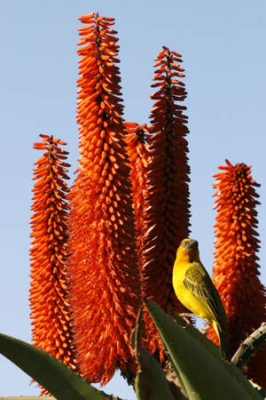 weaver standing on a succulant plant