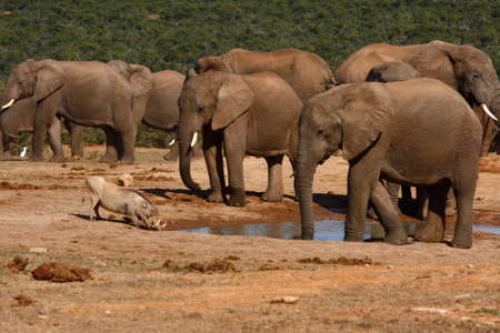 elephants watching a warthog drink at a waterhole