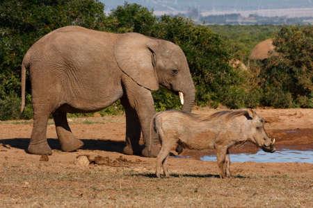 pozo de agua: elefante y un warthog en una charca
