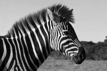 Zebra standing with a blue sky background Stock Photo