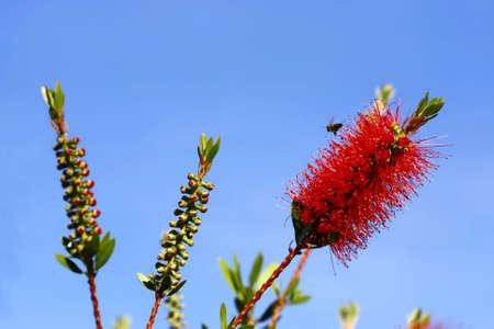 callistemon citrinus: bottlebrush flower with a bee visiting for pollen