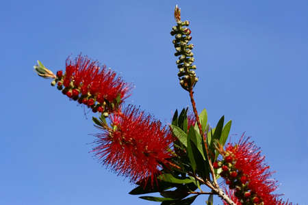 callistemon citrinus: Bottlebrush flowers in early summer with a blue sky background