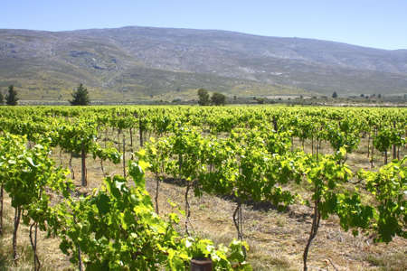 vineyard of new shoots close to a mountain Stock Photo