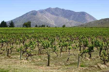 vineyard of new shoots with a beautiful view of a mountain
