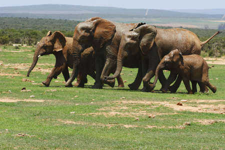 herd of elephants running towards a waterhole