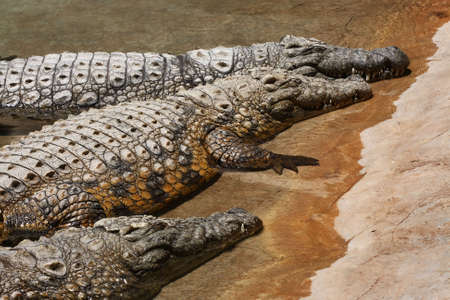 crocodiles lying in the water in the middle of the day Stock Photo