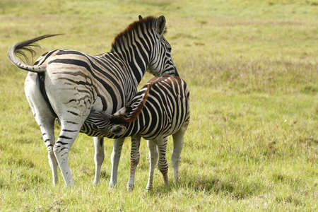 young zebra suckling on her mom