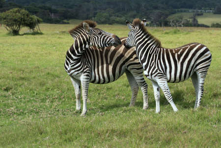 two zebras playing in a field of long grass Stock Photo - 2384253