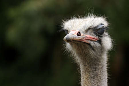 portrait of an ostrich  head and neck photo